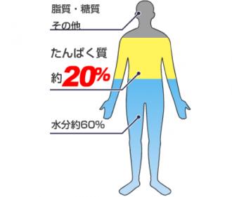 人体の構成図│アミノ酸を分かり易く言い換えるならば「タンパク質」
