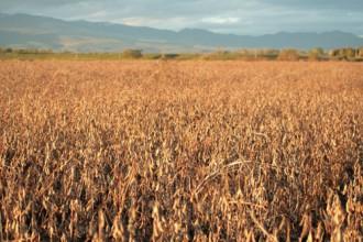 畑の写真│リジンを多く含むのは大豆