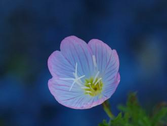 月見草の花の写真