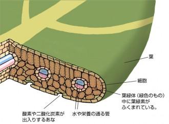 植物の葉の断面図