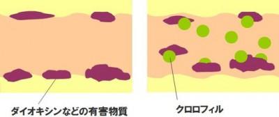 体内の有害物質を吸着して体外に出すクロロフィルの効果を解説した図