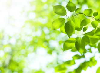 クロロフィルは、植物の含まれる緑色色素です。別名「葉緑素」と呼ばれ細胞の中の葉緑体に存在します。