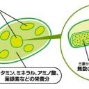 ミドリムシ(ユーグレナ)に含まれるパラミロンの図解│免疫力向上天然成分である「パラミロン」を持っているのは、地球上でユーグレナだけ!