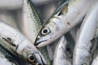 新鮮な鯖の画像│ミドリムシ(ユーグレナ)に含まれるDHAなどの成分は認知症予防効果を期待されています