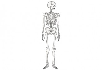 人間の骨のイラスト│ミドリムシ(ユーグレナ)に含まれる成分「マンガン」は骨や血液の状態を正常に保つ効果がある