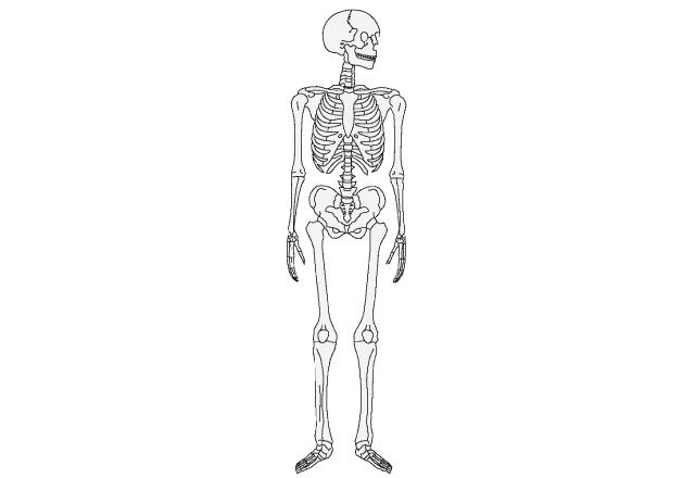 人間の骨のイラスト