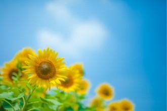 青空とひまわりの画像│ミドリムシ(ユーグレナ)に期待されている夏バテ予防効果とは?