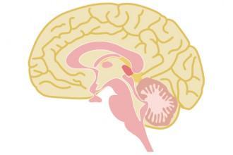 脳のイラスト│脳神経、血液、遺伝子など広域に関わるビタミンB6